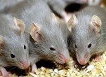 Cách bẫy chuột bằng chai nước suối độc đáo