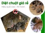 Cách bẫy và diệt chuột cắn phá hại ở ruộng lúa