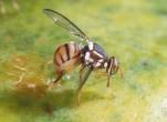 Cách diệt ruồi đục trái tiết kiệm nhất