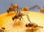 Cách diệt ruồi vàng đục quả bằng bẫy