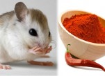 Cách bẫy chuột chù vào nhà