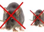 Tổng hợp các cách đuổi chuột xạ hiệu quả nhất